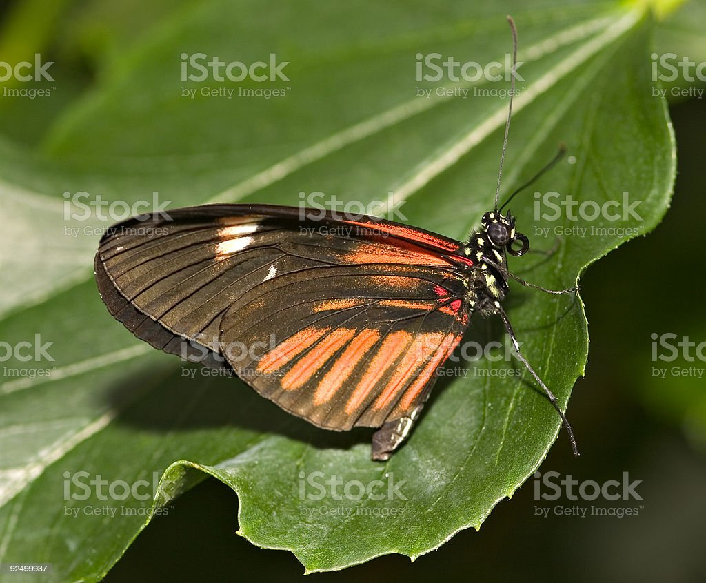 Red Cracker Butterfly (Hamadryas amphinome) On A Leaf Close-up stock photo