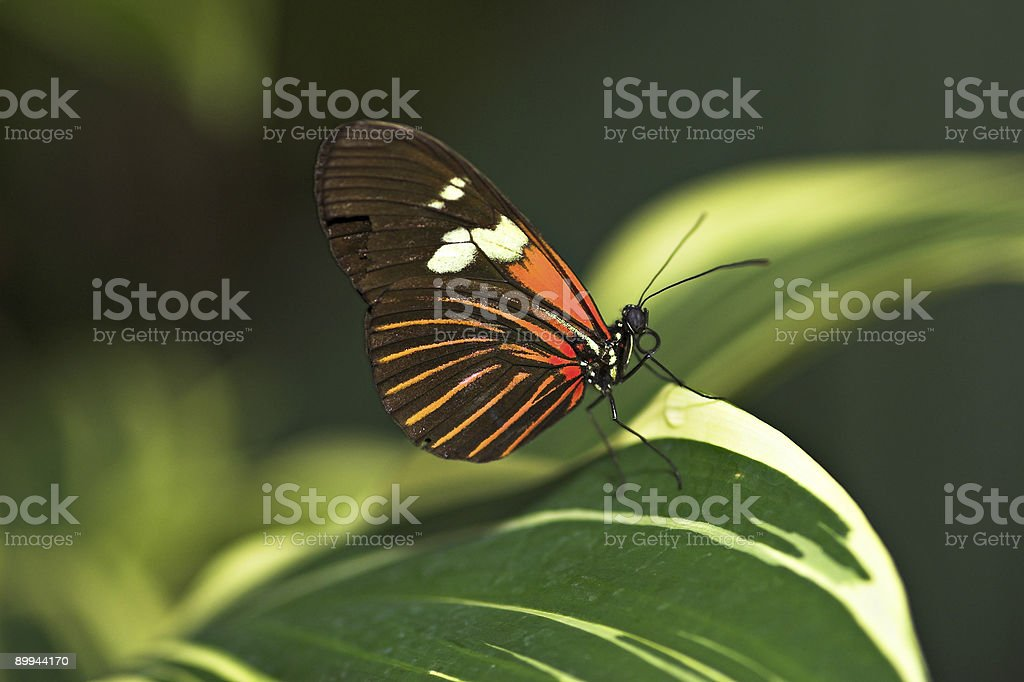 Red Cracker (Hamadryas Amphinome) Butterfly on a Leaf royalty-free stock photo