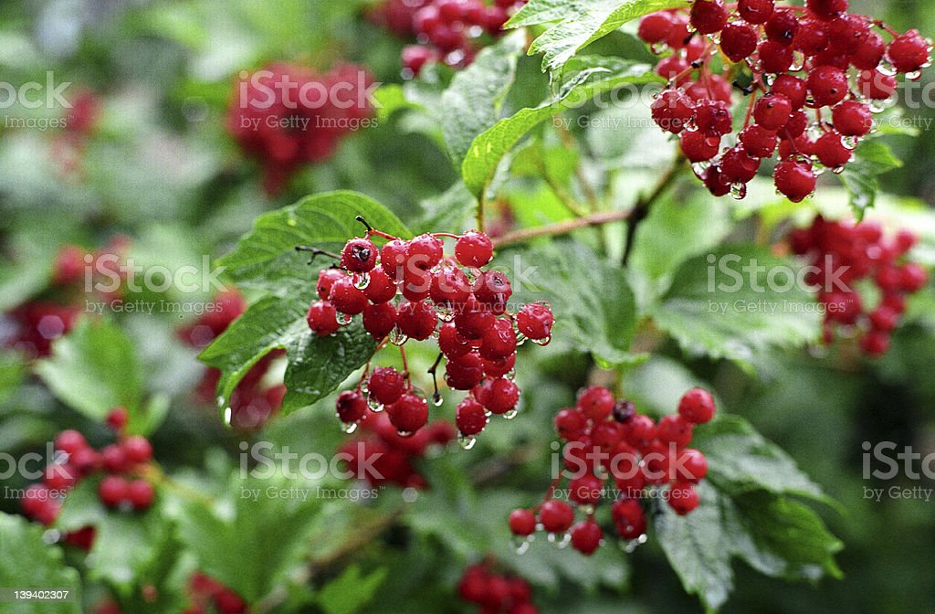 Red cranberry bush royalty-free stock photo
