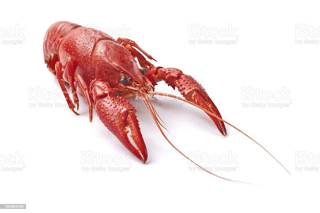 Red Crayfish stock photo