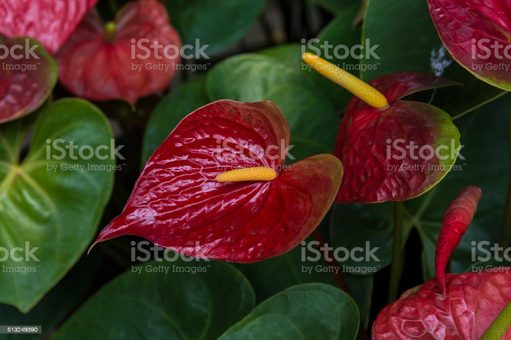 Cala roja (Anthurium) stock photo