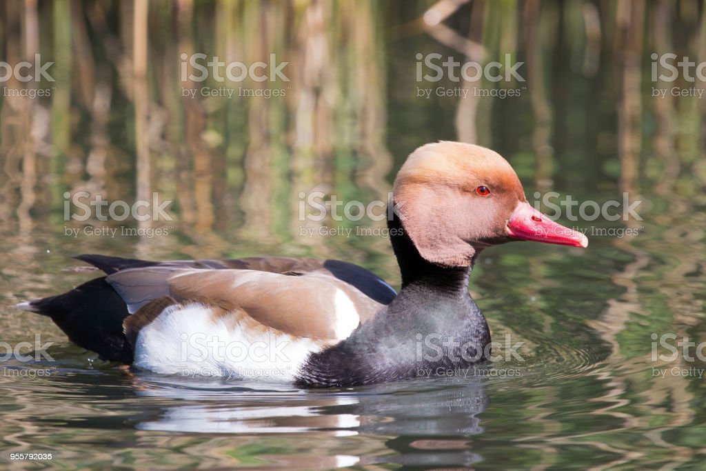 Red Crested Pochard Duck stock photo