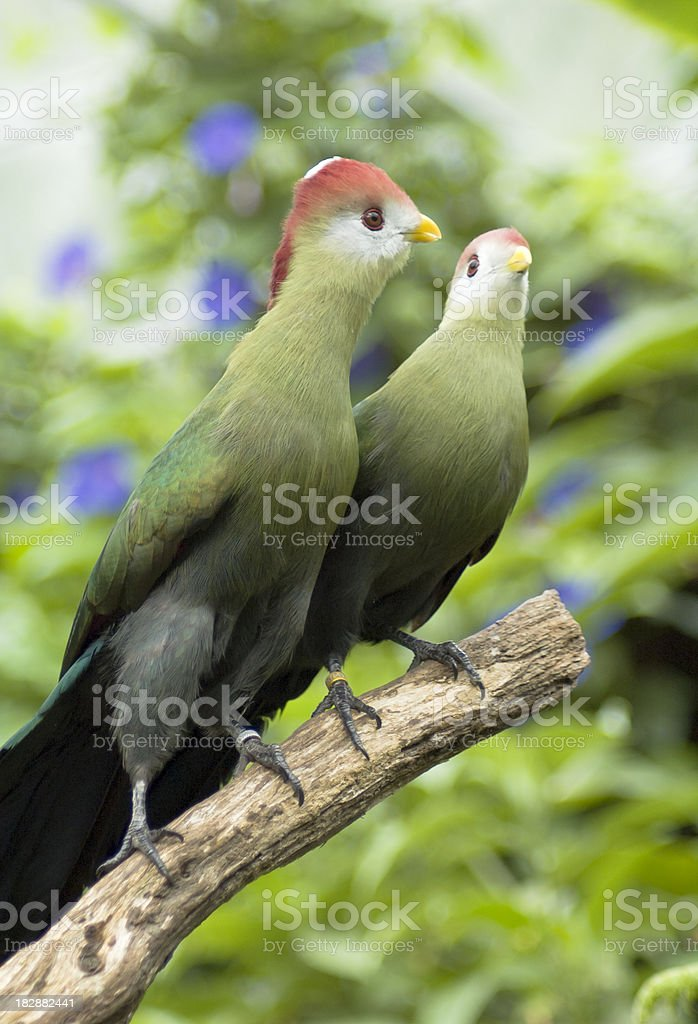 Red Crested Touraco royalty-free stock photo