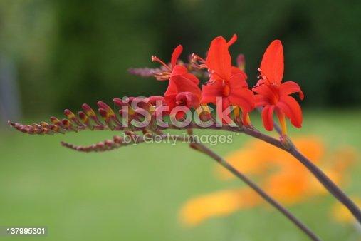 Red Crocosmia Lucifer flower
