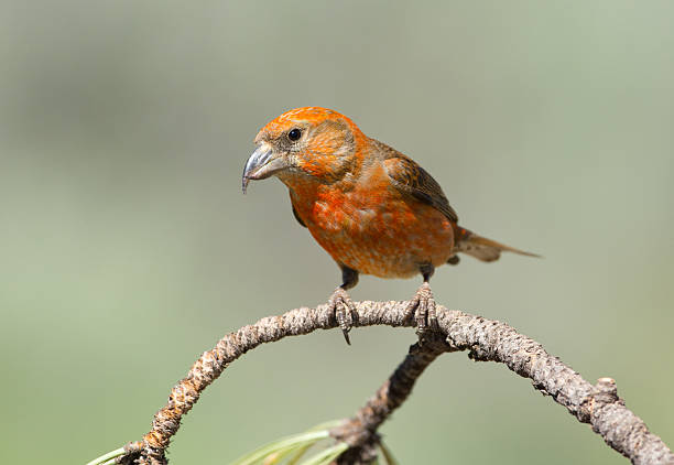 Red Crossbill-homme - Photo