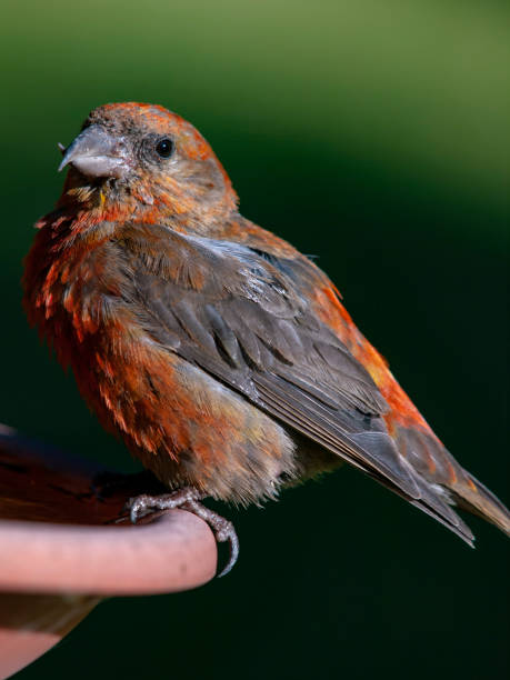 Red Crossbill (Loxia curvirostra) stock photo
