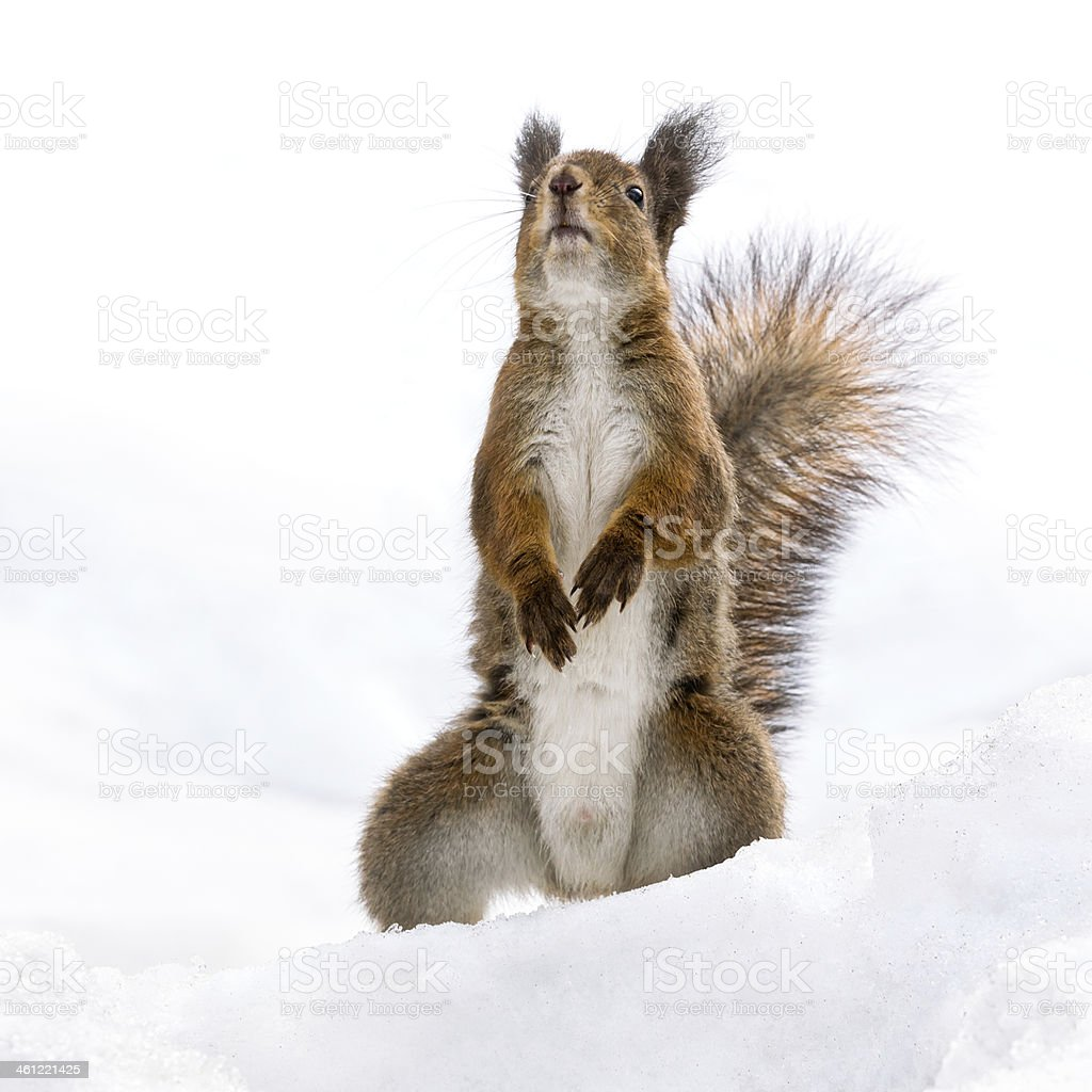 Red curious squirrel standing on the snow stock photo