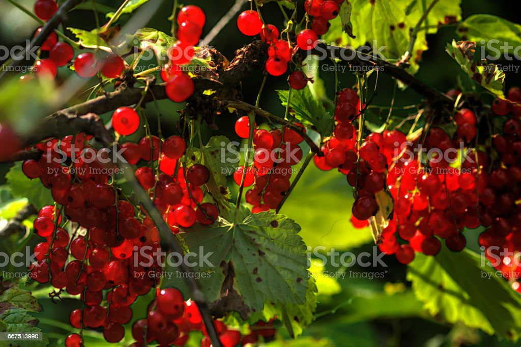 Red currant. A garden berry. foto stock royalty-free
