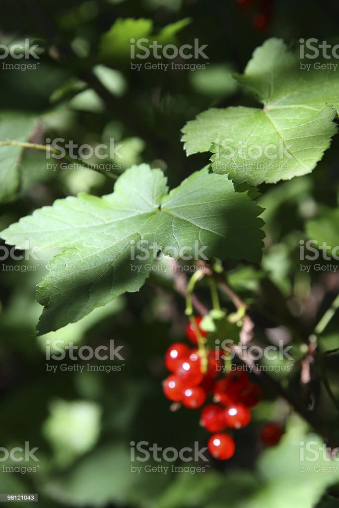 red currant berry in dark royalty-free stock photo