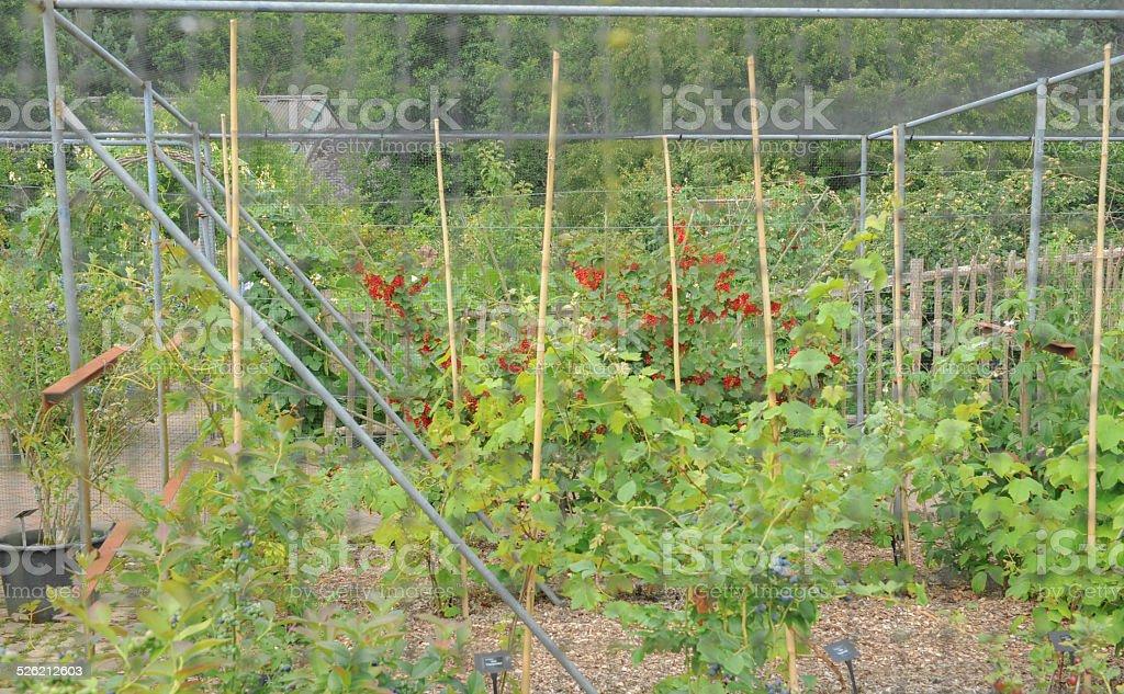 Red Currant Bush in the Garden at Rosemoor, Devon, England stock photo