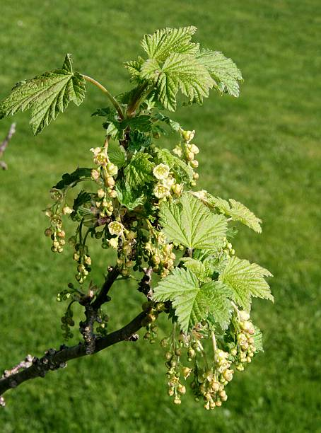 Red currant flowers stock photo