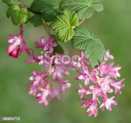 istock Red Currant (Ribes sanguineum) in bloom 480654713