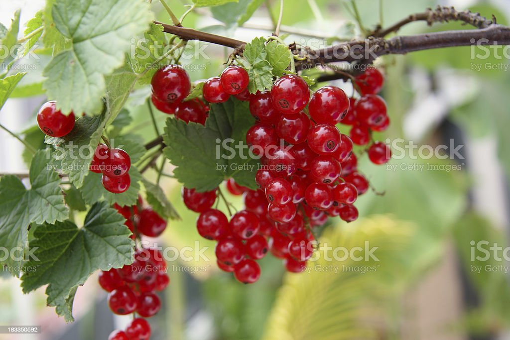Red currant in the garden stock photo