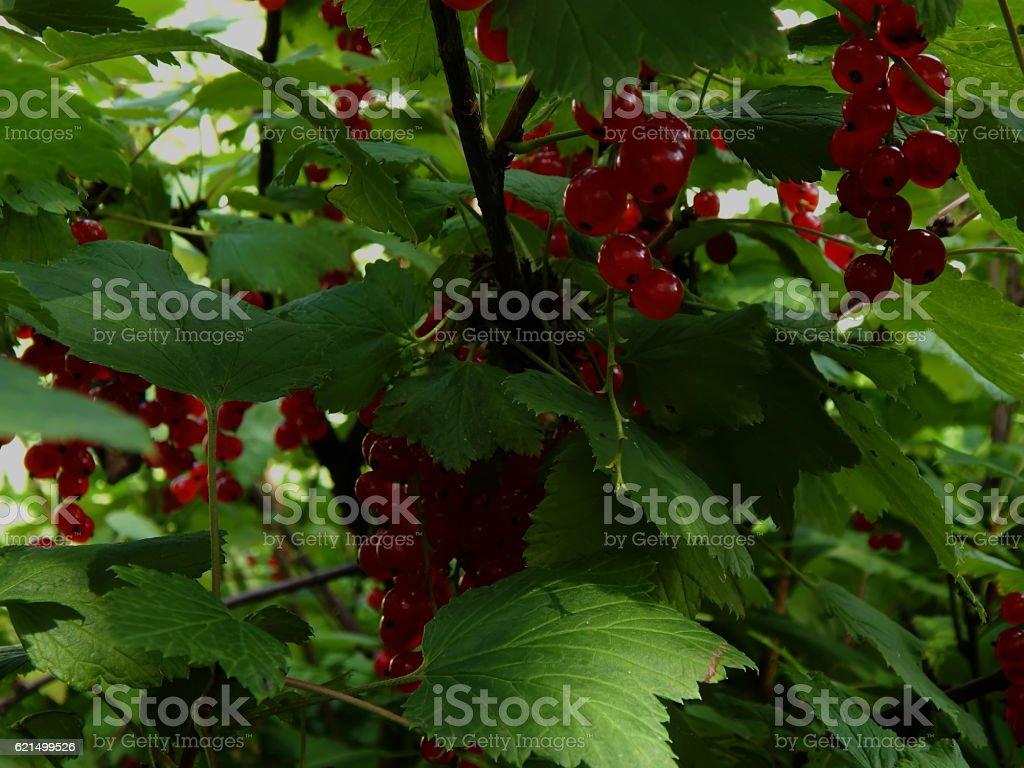 Red currant on a branch close-up photo libre de droits
