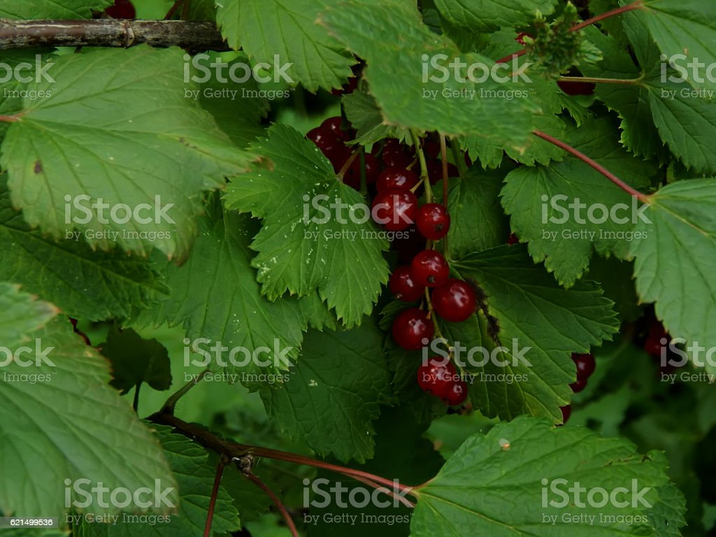 Red currant on a branch close-up Lizenzfreies stock-foto