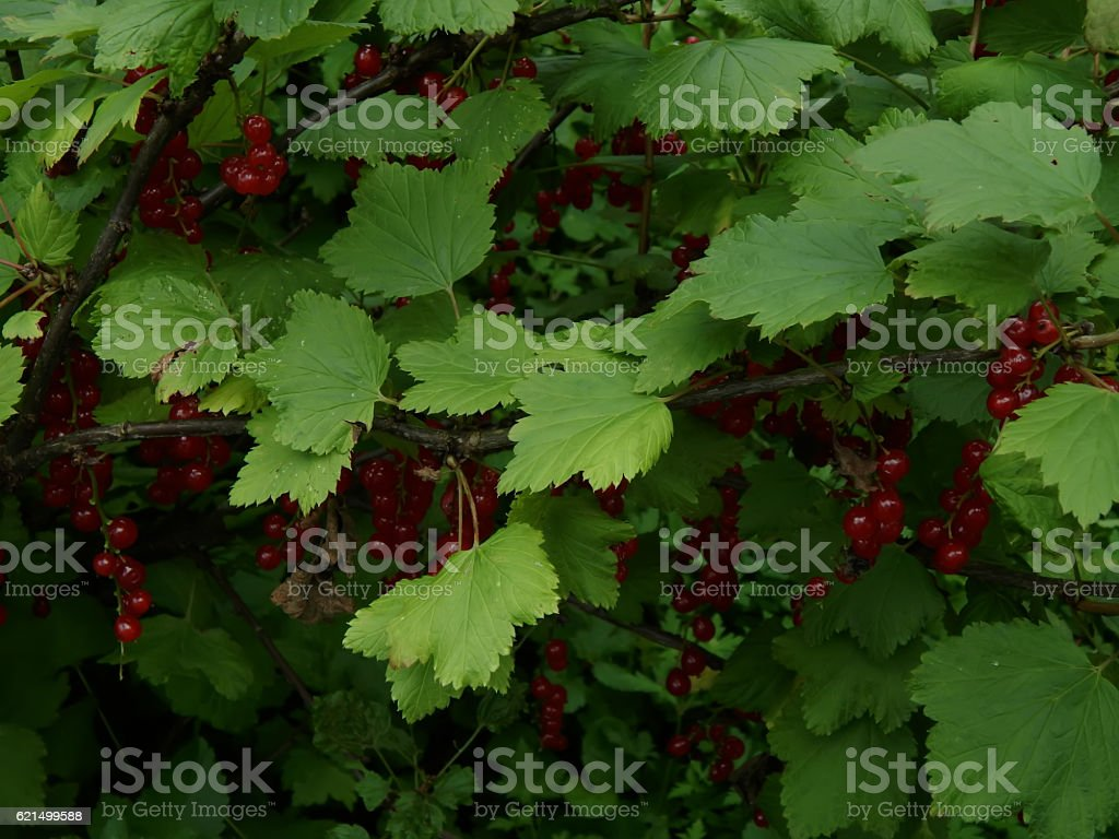 Red currant on a branch close-up foto stock royalty-free