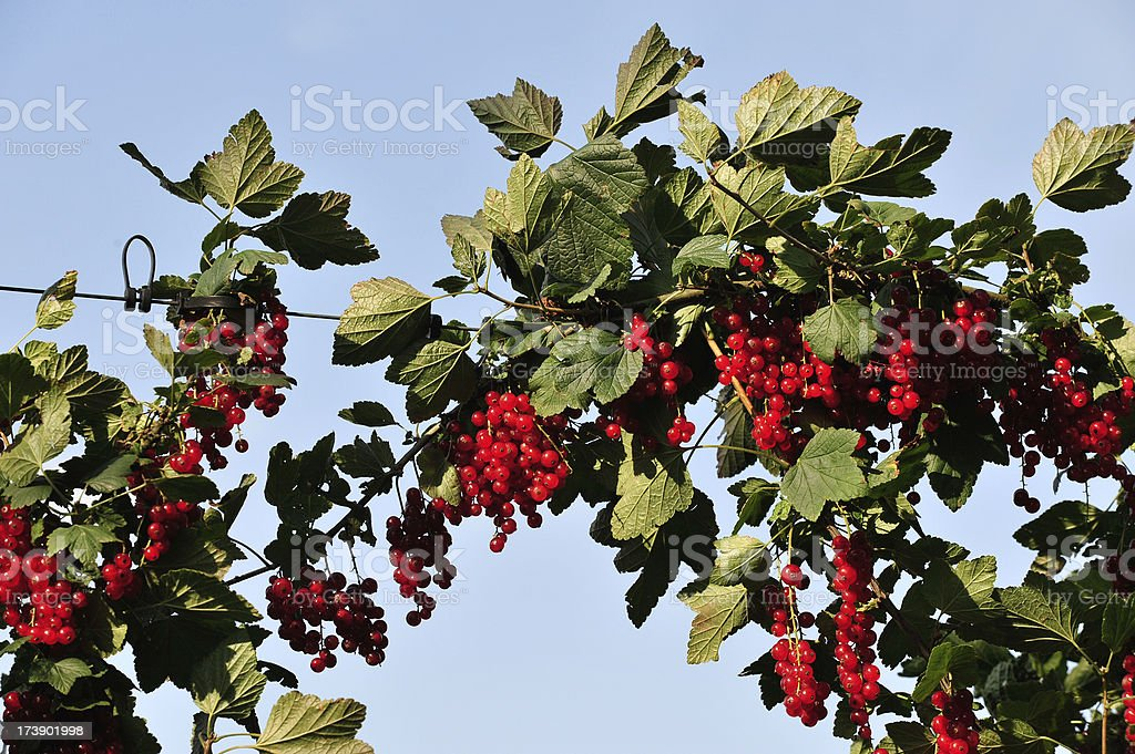 Rote Johannisbeere – Foto
