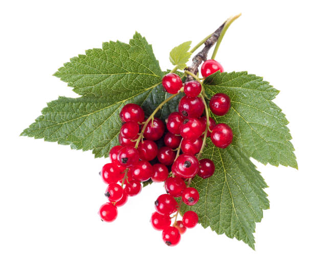 red currant with green leaves isolated on white background stock photo