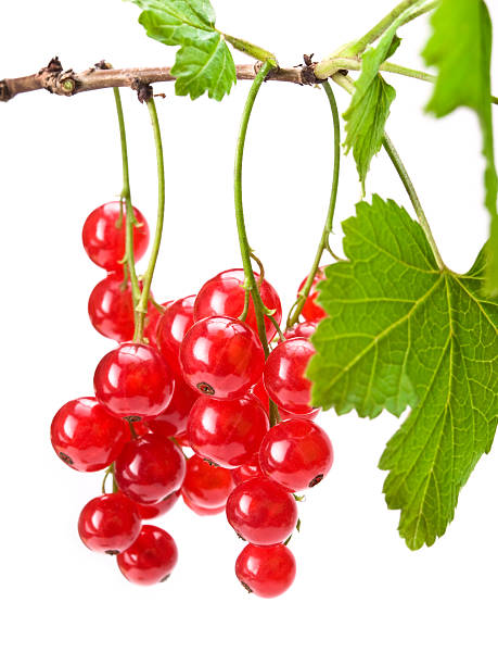 red currants - xxmmxx stock photos and pictures
