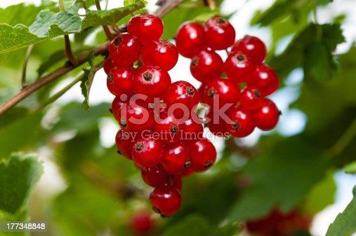 Fresh red Currants at the bush. Rote Johannisbeeren am Busch