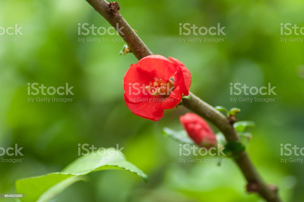 red cydonia flowers in urban park stock photo