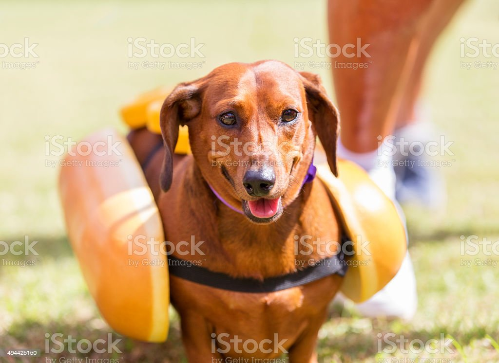 Red Dachshund Shows Off His Hot Dog Costume stock photo