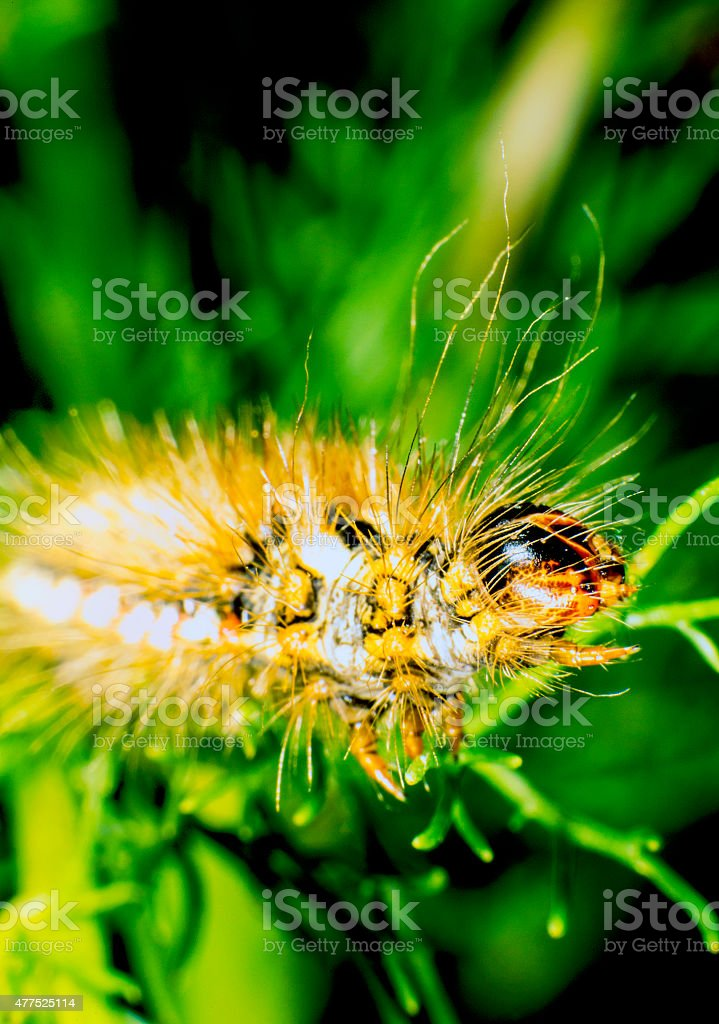 Red dagger moth caterpillar stock photo