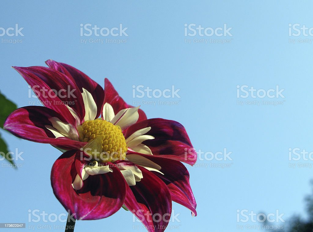 Red dahlia and blue sky stock photo