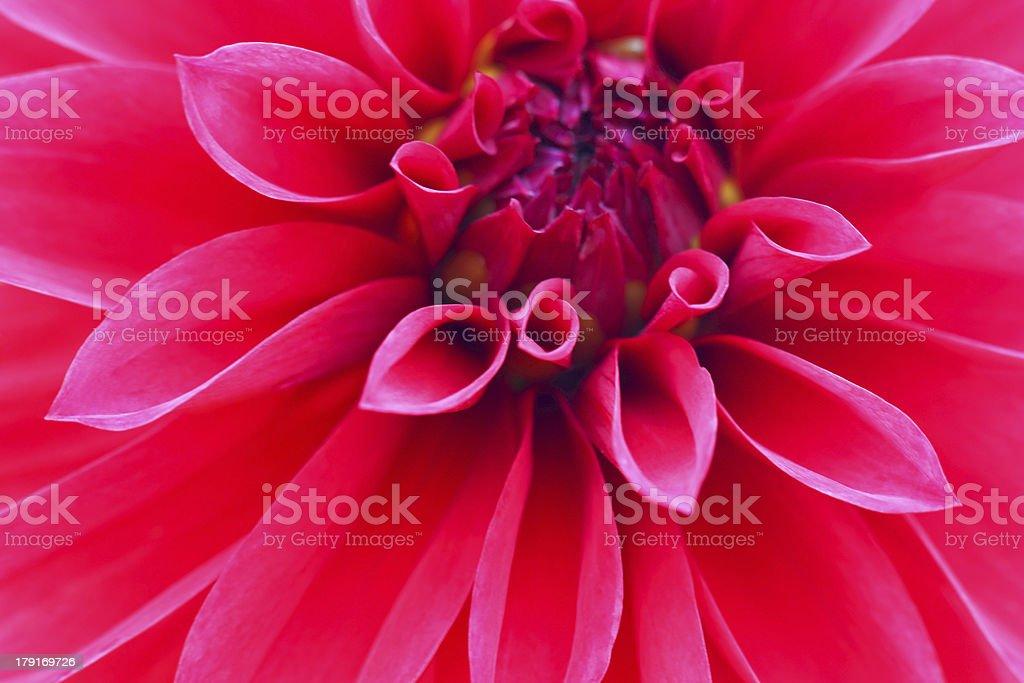 Red dahlia close up stock photo