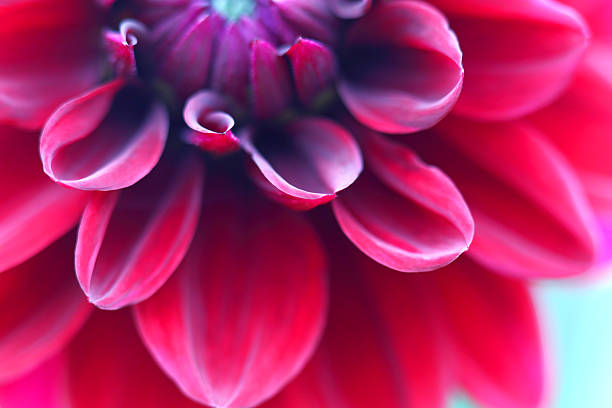 red dahlia close up - magenta stock photos and pictures
