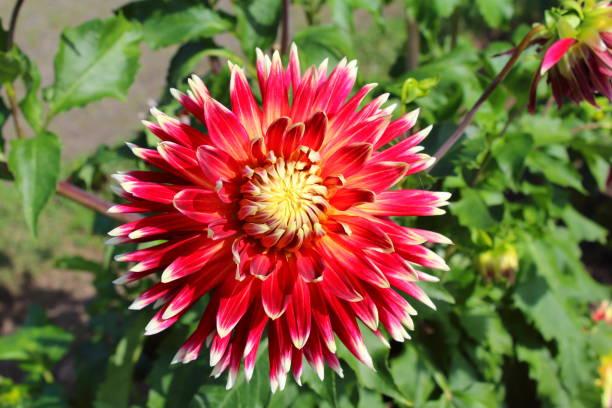 Dália vermelho flor akita - foto de acervo