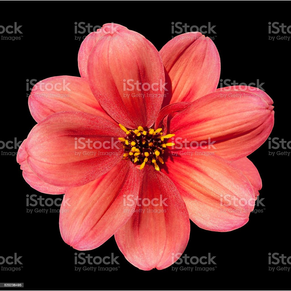 Dalia Fiore Rosso Isolato Su Sfondo Nero Fotografie Stock E Altre