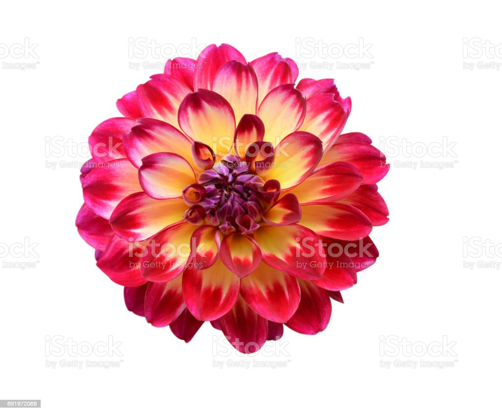 Red Dahlia Flower Isolated On White Background Stock Photo More