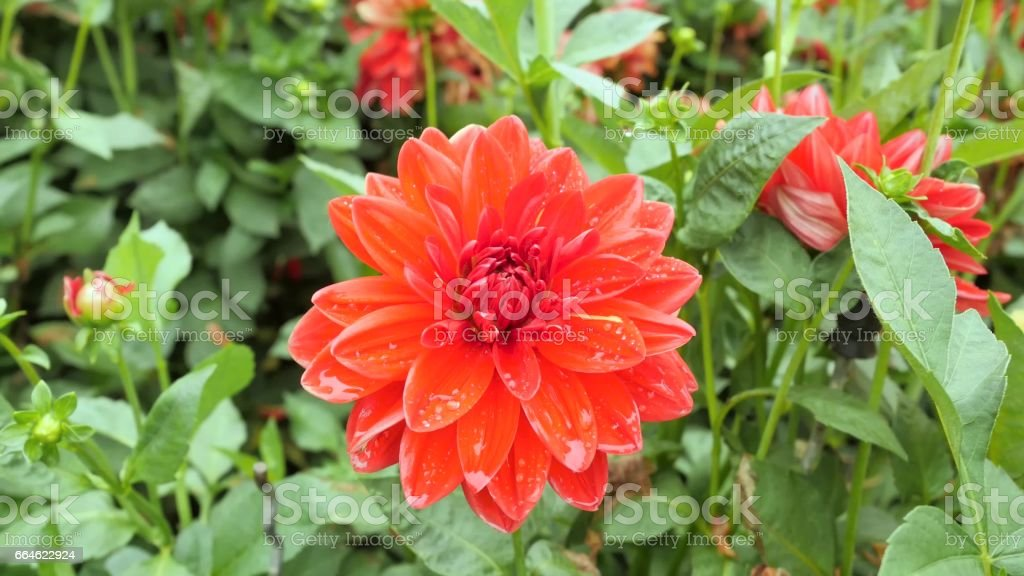 Red Dahlia flower on a background of green leaves stock photo