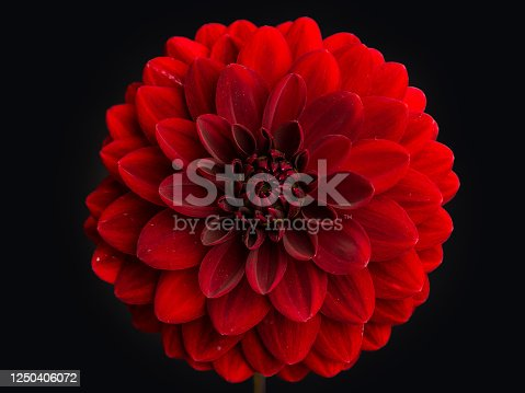 Centered Red Dahlia Flower with a black background