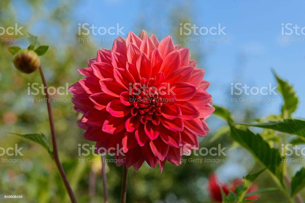 red dahlia flower on blue sky background stock photo