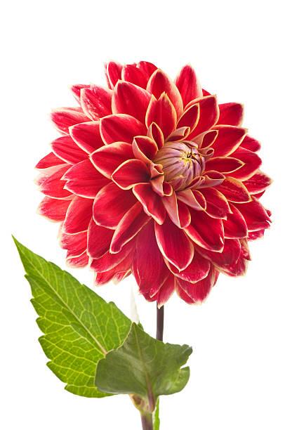 Vermelho em branco Flor Dália - foto de acervo