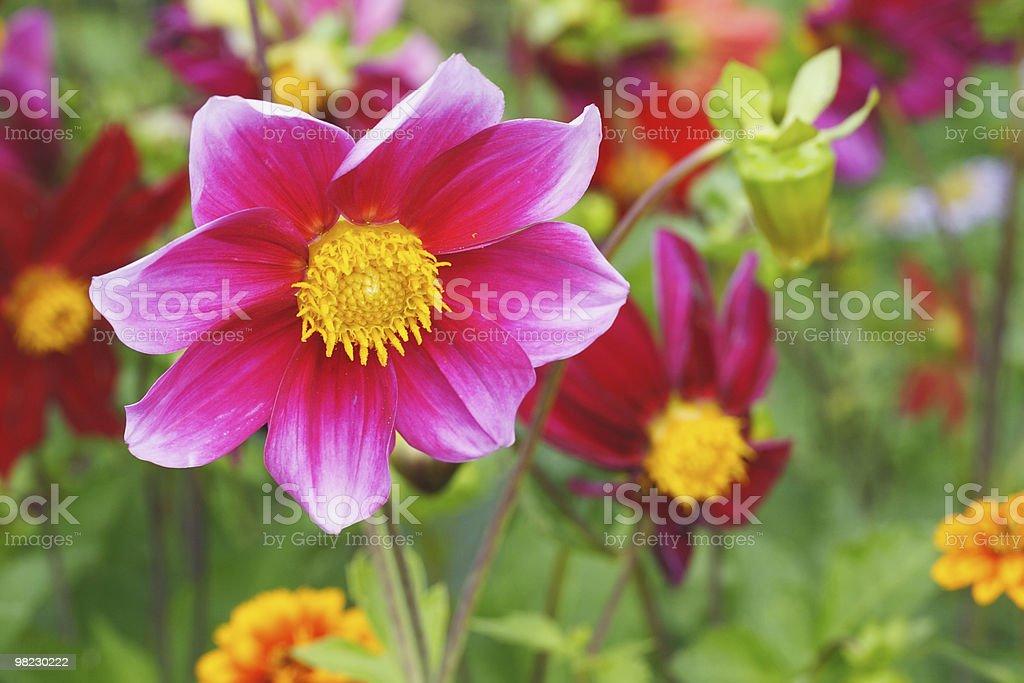 Red dahlia flower royalty-free stock photo