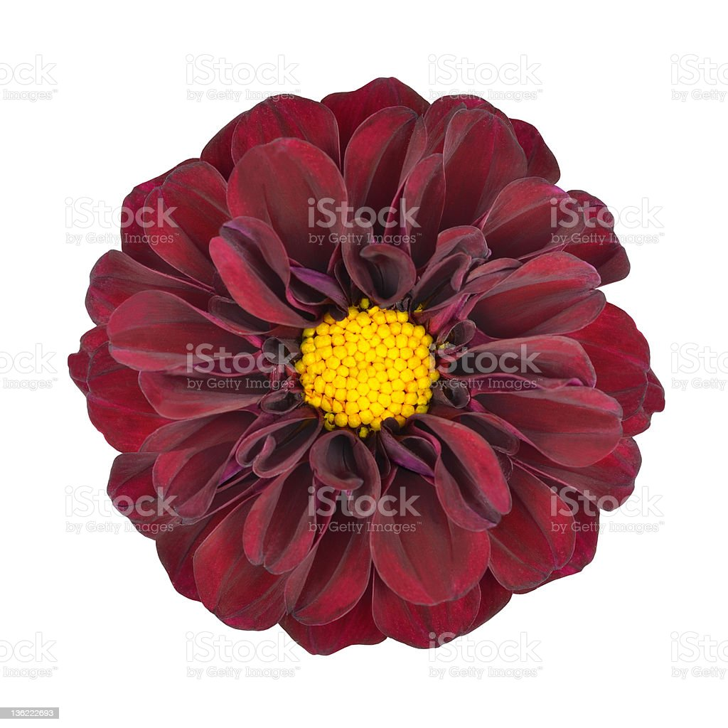 Red Dahlia Flower With Yellow Center Isolated Stock Photo More