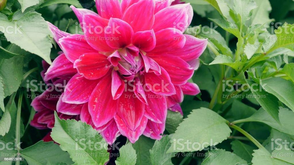 Red dahlia in the garden stock photo