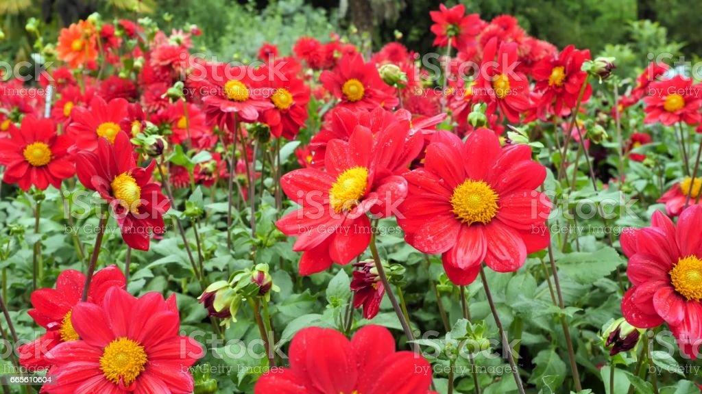 Red dahlia in the garden. stock photo