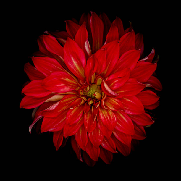 Red dahlia isolated on a black background stock photo
