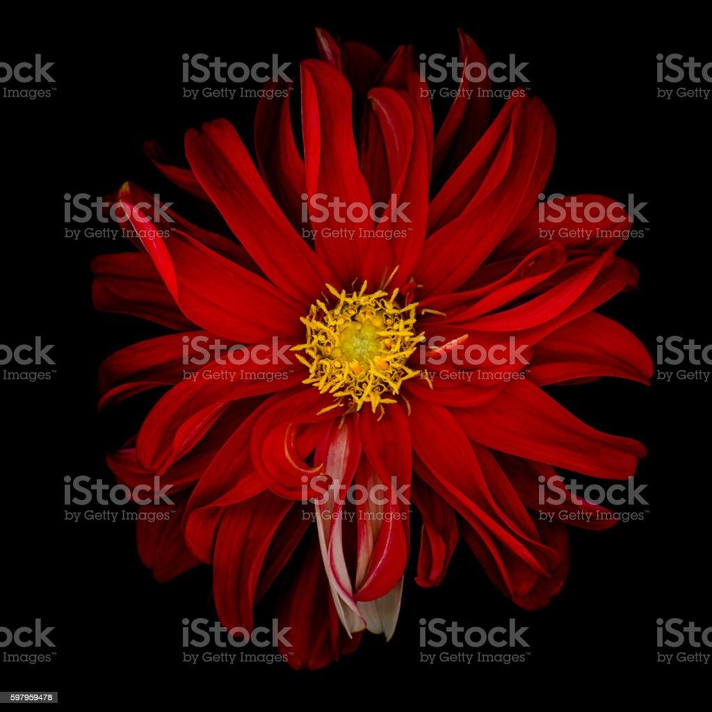 Red dahlia isolated on black background stock photo