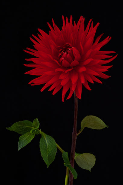 Red Dahlia isolated on the black stock photo