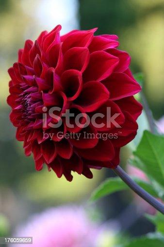 A vertical shot of a red dahlia.
