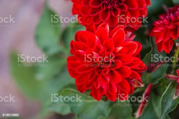 Red dahlia picture id818910880?b=1&k=6&m=818910880&s=612x612&h=g z5ev0p8ny01nlslur27096cnbckvu1up9ldddk7ii=