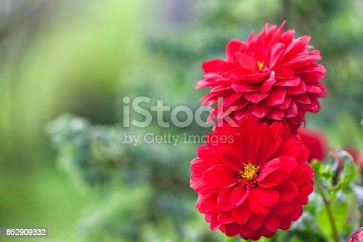 istock Red dahlia. 852909332