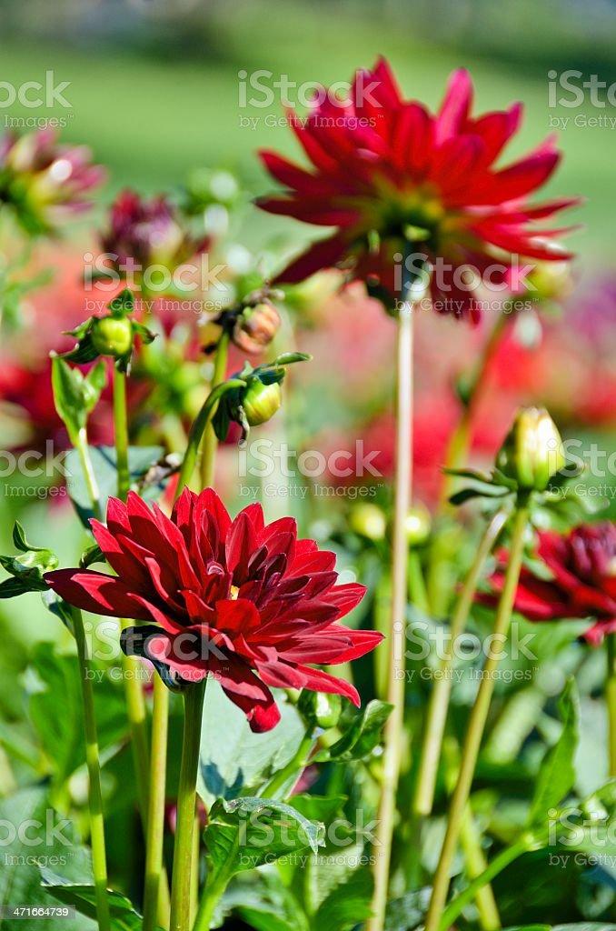 Red Dahlias royalty-free stock photo