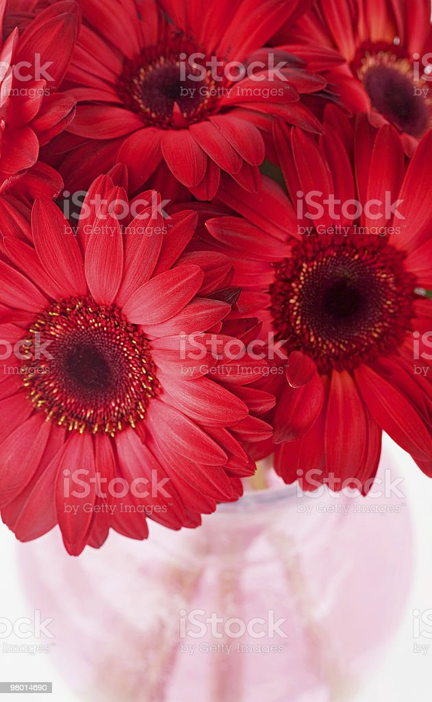Red Daisies royalty-free stock photo