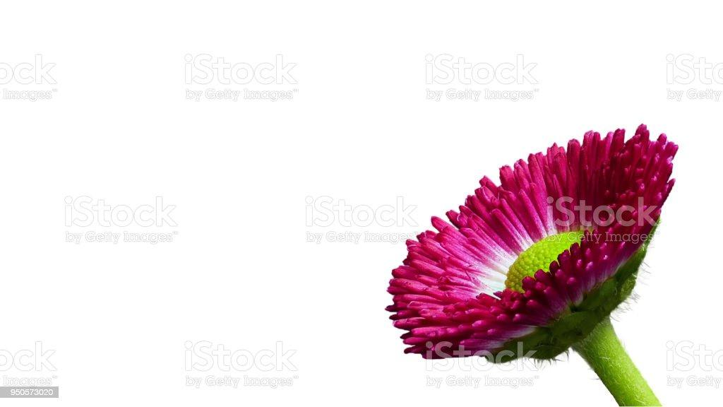 Rote Daisy - Bellis Perennis - mit weißem Hintergrund – Foto